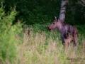 moose_elch_tjur_algtjur_jakt_ipnaturfoto_se_alg122