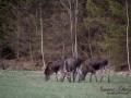 moose_ipnaturfoto_se_alces_elch_alg86