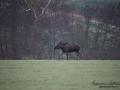 moose_tjur_algtjur_elch_ipnaturfoto_se_ingemar_pettersson_alg123