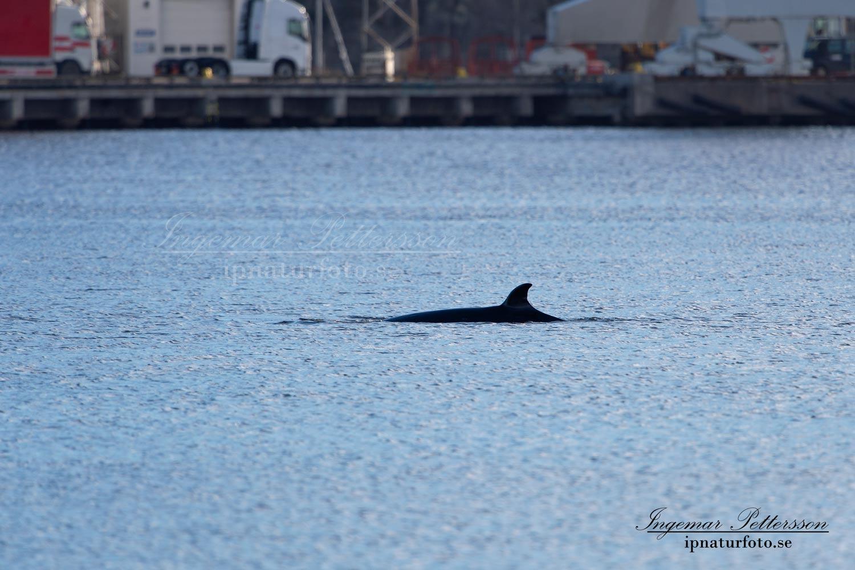 bardval_val_whale_vikval_minke_whale_Byfjorden_Uddevalla_ipnaturfoto_se_odj144