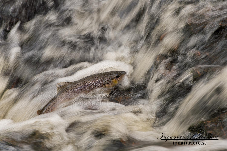 havsoring_sea_trout_ipnaturfoto_se_odj110