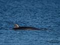 bardval_val_whale_vikval_minke_whale_Byfjorden_Uddevalla_ipnaturfoto_se_odj143