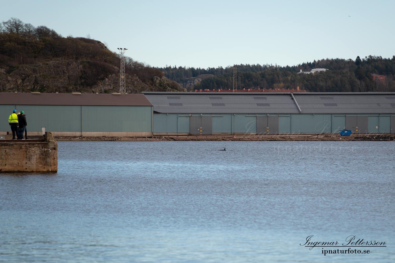 uddevallahamn_bardval_val_whale_vikval_minke_whale_Byfjorden_Uddevalla_ipnaturfoto_se_odj146