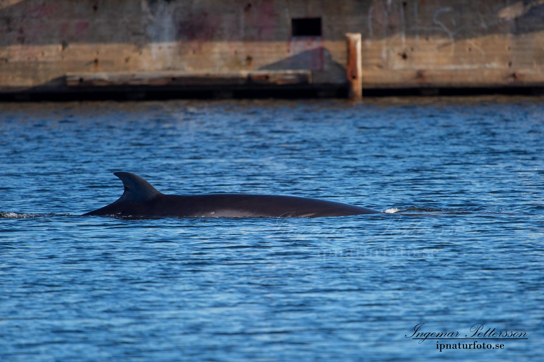 val_whale_vikval_minke_whale_Byfjorden_Uddevalla_ipnaturfoto_se_odj142