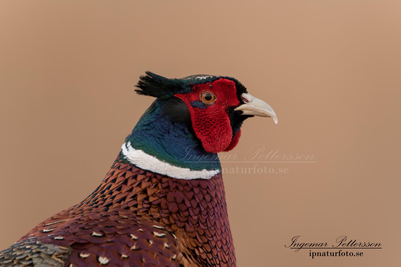 fasan_ipnaturfoto_se_pheasant_fo289