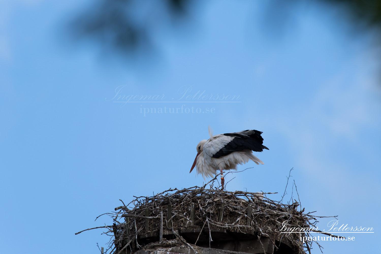 stork_flying_ipnaturfoto_storche_fo326