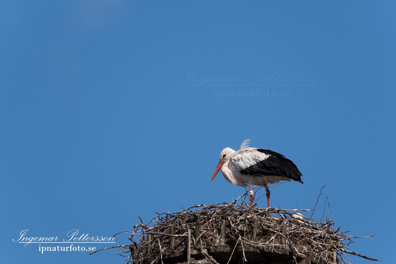 stork_skane_flying_ipnaturfoto_se_fo327