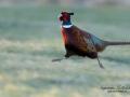fasan_ipnaturfoto_se_pheasant_fo281