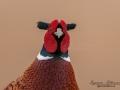 fasan_ipnaturfoto_se_pheasant_fo290