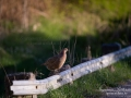 fasan_ipnaturfoto_se_pheasant_fo299