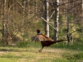 fasan_ipnaturfoto_se_pheasant_fo301
