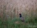 fasan_munkedal_ipnaturfoto_se_pheasant_fo611