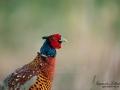 fasan_pheasant_ipnaturfoto_birdlife_fo618