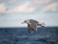 gratrut_hav_fjallbacka_Larus_argentatus_ipnaturfoto_skagerrak_herring_gull_fo612