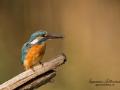 kungsfiskare_ipnaturfoto_se_fo161.jpg