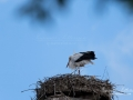 stork_flying_ipnaturfoto_storche_fo326