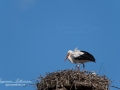 stork_skane_flying_ipnaturfoto_se_fo327