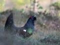 tjader_ipnaturfoto_capercaillie_se_forest_fo616