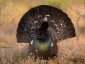 tjader_ipnaturfoto_capercaillie_se_forest_fo621