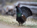 tjader_ipnaturfoto_se_Western_capercaillie_fo294