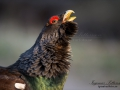 tjader_ipnaturfoto_se_Western_capercaillie_fo295