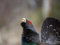 tjader_ipnaturfoto_se_Western_capercaillie_fo296