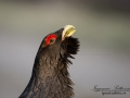 tjader_ipnaturfoto_se_Western_capercaillie_fo297