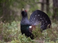 tjader_ipnaturfoto_se_Western_capercaillie_fo310