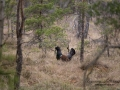 tjader_ipnaturfoto_se_Western_capercaillie_fo312