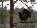 tjader_ipnaturfoto_se_Western_capercaillie_fo313
