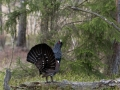 tjader_ipnaturfoto_se_Western_capercaillie_fo315