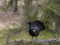 tjader_ipnaturfoto_se_Western_capercaillie_fo317