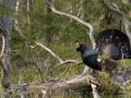 tjader_ipnaturfoto_se_Western_capercaillie_fo321