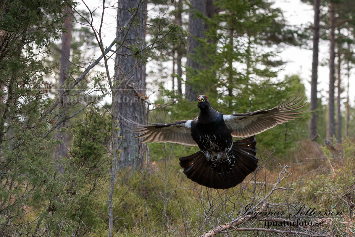 tjader_ipnaturfoto_capercaillie_se_forest_fo508