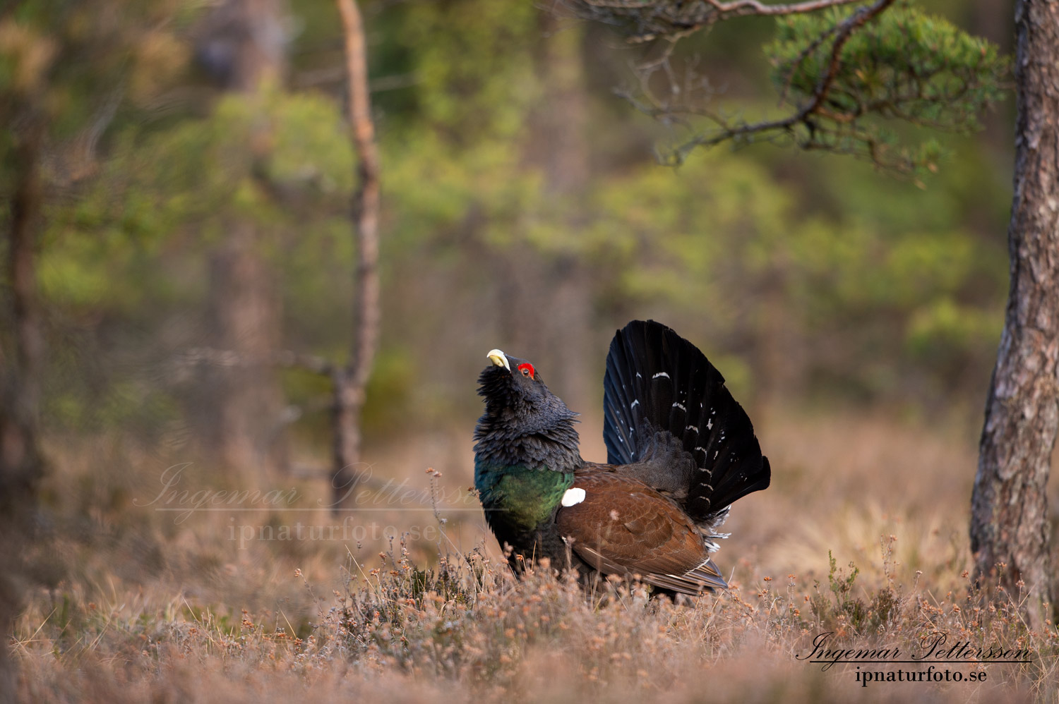 tjader_ipnaturfoto_capercaillie_se_forest_fo620
