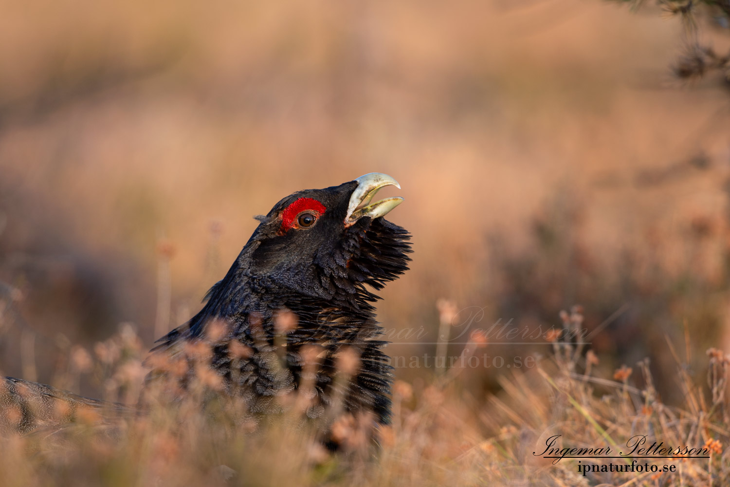 tjader_ipnaturfoto_capercaillie_se_forest_fo623