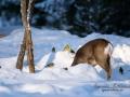 vinter_radjur_ipnaturfoto_se_rd138