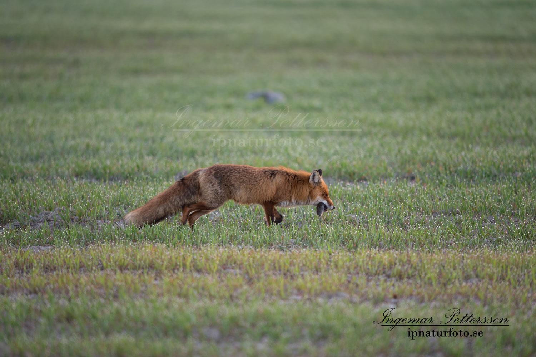 fox_redfox_rav_ipnaturfoto_se_rav78