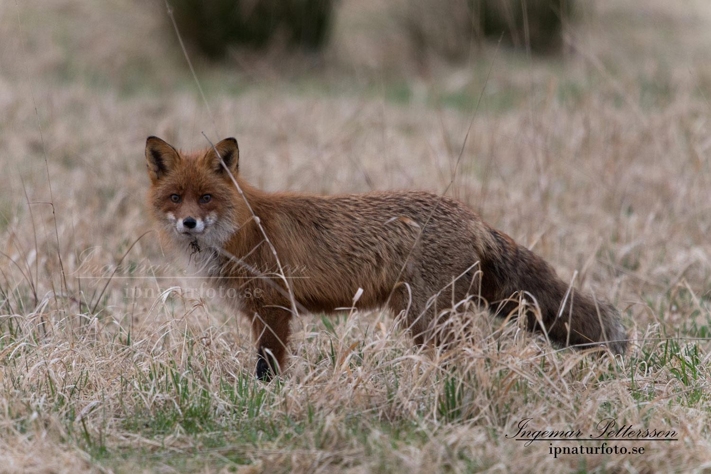 rav_fox_red_fox_rodrav_ipnaturfoto_se_rav75