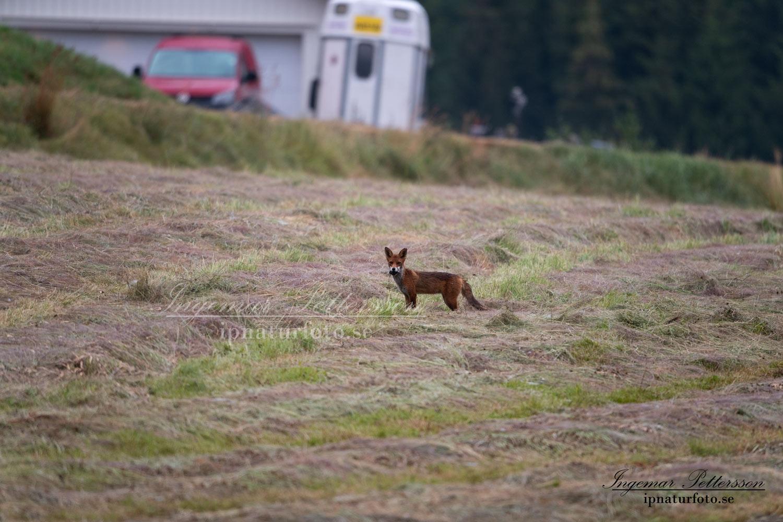 redfox_fox_ipnaturfoto_se_rav_rav81