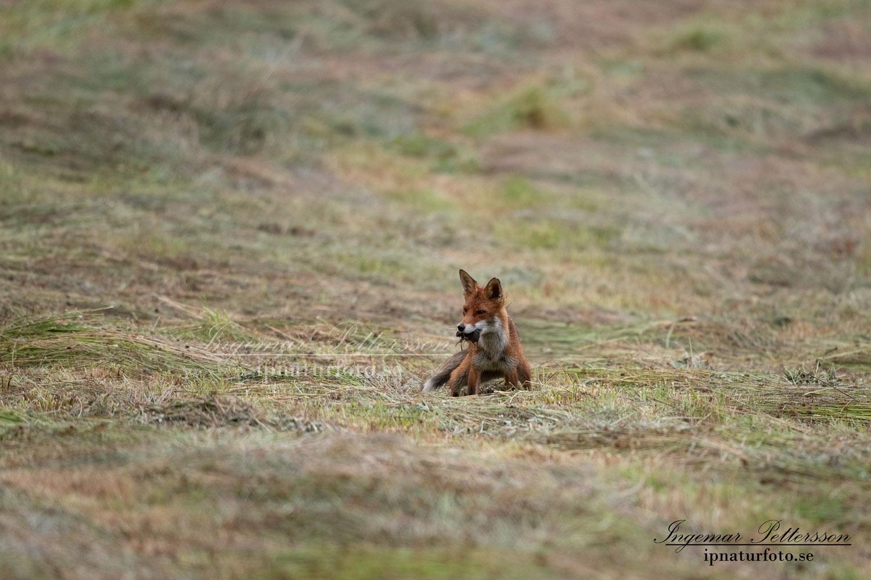 redfox_fox_ipnaturfoto_se_rav_rav82