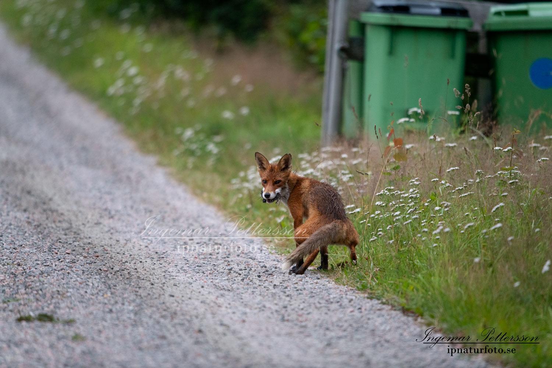 redfox_fox_ipnaturfoto_se_rav_rav84