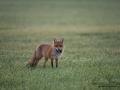 fox_ipnaturfoto_se_rav_munkedal_rav79