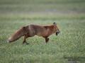 redfox_fox_ipnaturfoto_se_rav_rav80