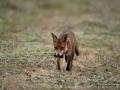 redfox_fox_ipnaturfoto_se_rav_rav83