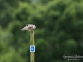 aftonfalk_ipnaturfoto_se_ingemar_pettersson_red_footed_falcon_rf144