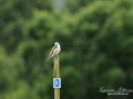 aftonfalk_ipnaturfoto_se_ingemar_pettersson_red_footed_falcon_rf145