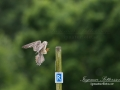 aftonfalk_ipnaturfoto_se_ingemar_pettersson_red_footed_falcon_rf146