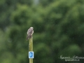 aftonfalk_ipnaturfoto_se_ingemar_pettersson_red_footed_falcon_rf147