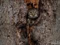 uggla_sparvuggla_pygmy_owl_sperlingskauz_ipnaturfoto_se_rf160